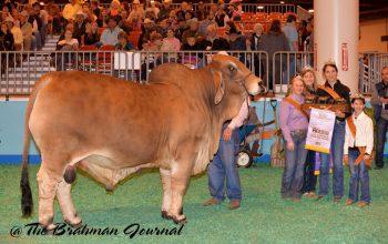 Skeeter Wins Reserve Grand Champion at Houston!
