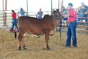 calf-champ-junior-show-web