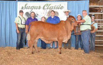 Reserve Grand Champion Win at Louisiana Sugar Classic!